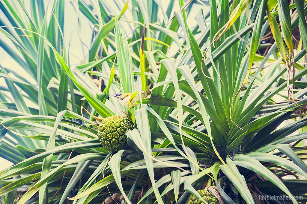 Pandanus pine with fruit and exotic bird