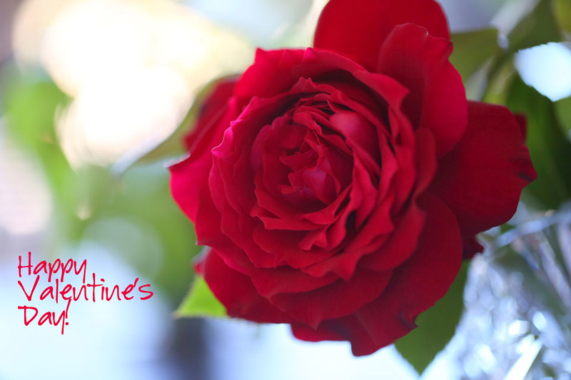 valentine_rose_2014-8-23