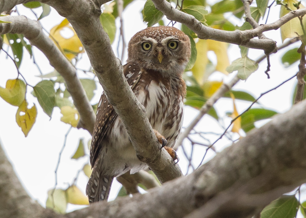 Pearl Spotted Owlet    Gambia