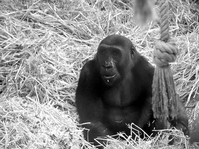 Gasira, Zoo Köln
