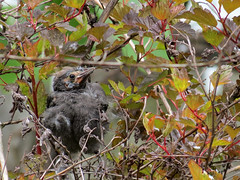 baby grackle clinging to a bush