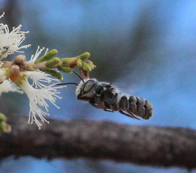 Megachile (Hackeriapis) tosticauda Cockerell, 1912 - male