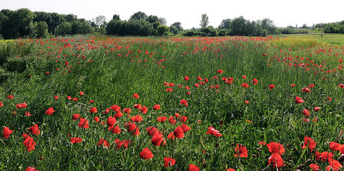 blue red sky flower color colour tree green nature beautiful field grass digital canon eos nice flora colorful hungary calm poppy ponceau 70d