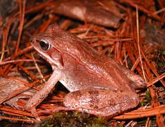 DSCN6129_wood_frog_Rana_sylvatica