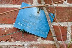 Pannonceau « Rosier Madame Caroline Testout »
