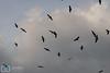 Birds cloud