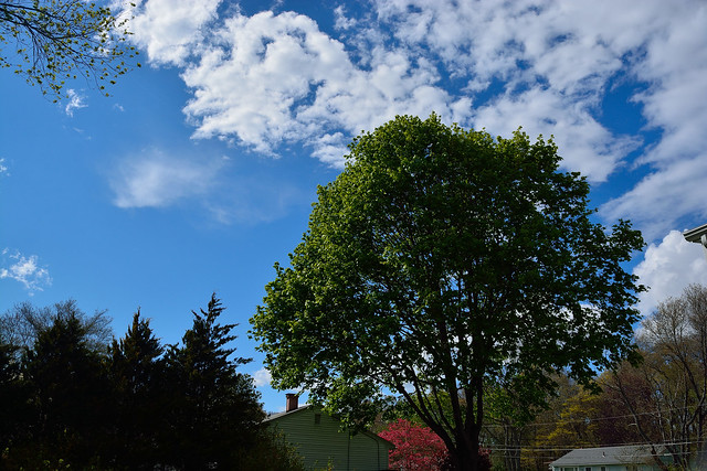 Clouds and Maple tree