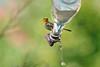 Verdin on Hummingbird Feeder