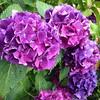 Rainy day #hydrangeas. #nofilter #flowers #purple #pretty #beautiful #garden