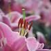 Lilies by noor.alnakib