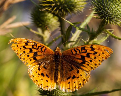 8x10  - ButterflyIMG_3201