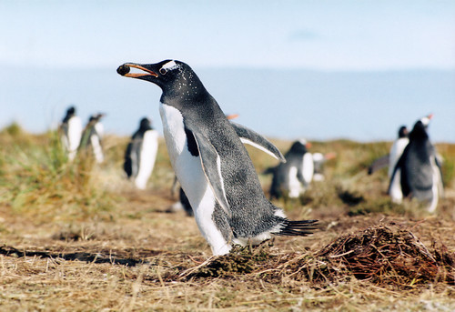 Penguin in the wild. Falkland Islands by Rainbow 1984