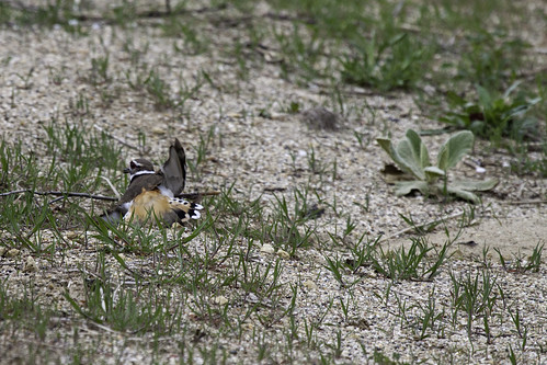 Phriday Photo – Broken Down Killdeer