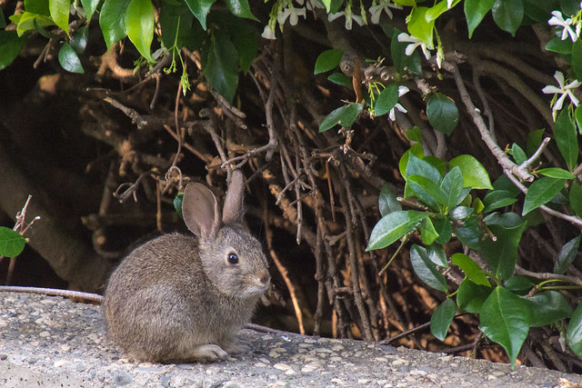 Baby Rabbit in my Front Yard | Explore donjd2's photos on ...