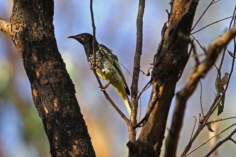Regent Honeyeater 2013 release bird N Bartlett