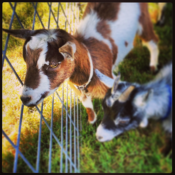 Peting Zoo_goats