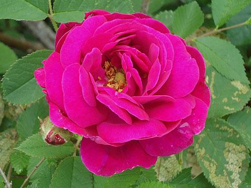Henri Martin Moss rose