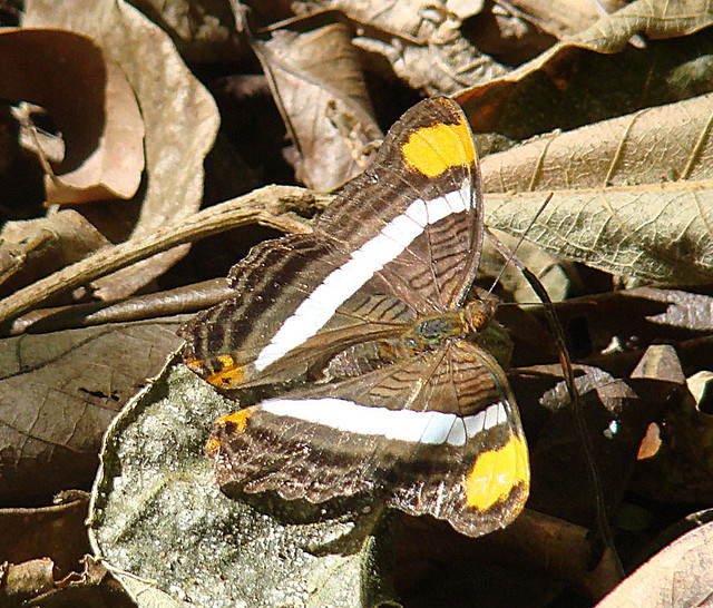 Header of Adelpha fessonia
