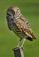Burrowing Owl, Brian Piccolo Park, Broward County, Florida.