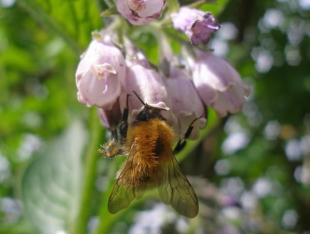 bumblebee on comfrey 3