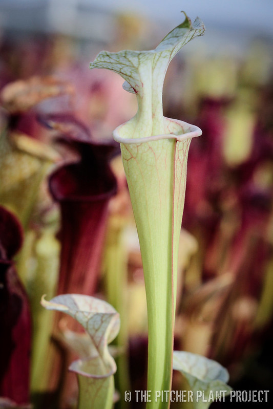 "Sarracenia ""Orange Glow"" x 'Adrian Slack'"