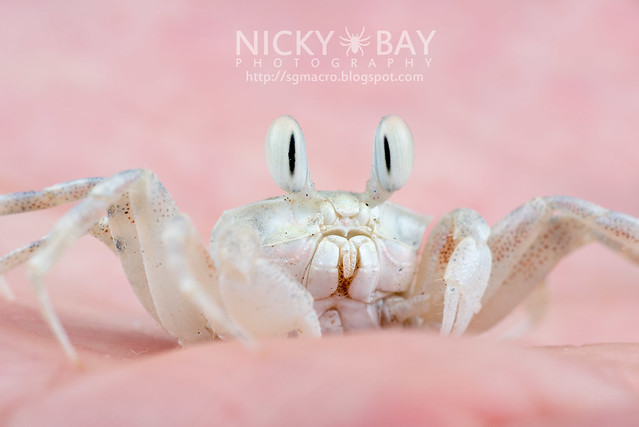 Ghost Crab (Ocypode sp.) - DSC_7011