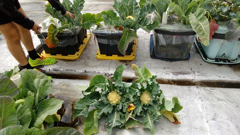 Cauliflower Harvest WP_20130611_017