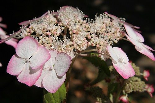 Garden in Red -  Hydrangea serrata 'Kiyosumi'
