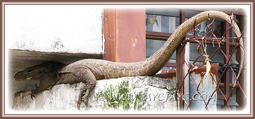 5-ft long monitor lizard (Varanus bengalensis) resting in one of our neighbour's backyard, August 10 2013