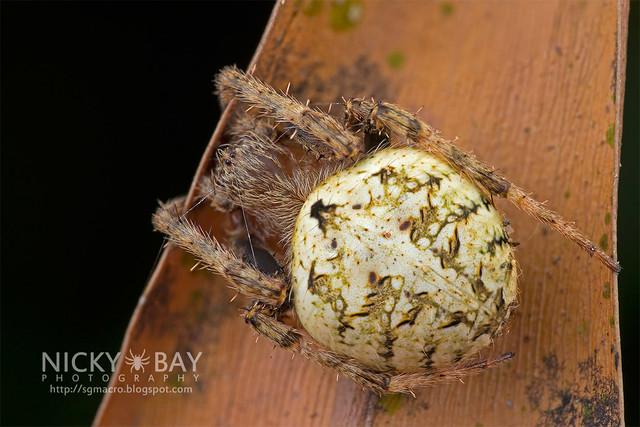 Orb Web Spider (Araneidae) - DSC_2879