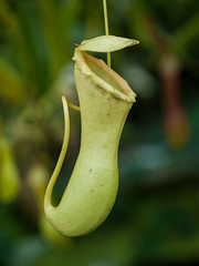 pitcher plant, flower, yellow, plant, nature, macro photography, flora, green, close-up,
