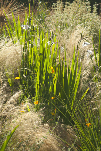 bob hyland gladiolus