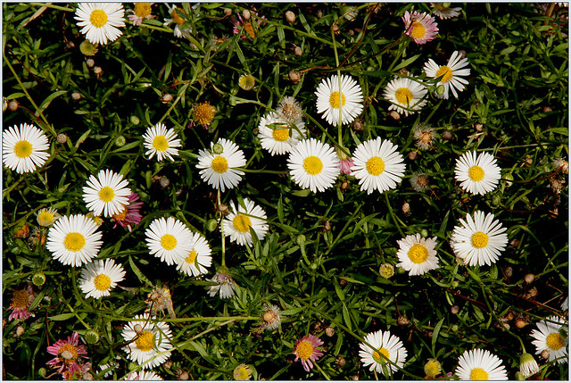 Image of Erigeron karvinskianus - Summer plants in Broward County