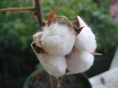 Pianta del cotone lo stress