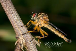 Robberfly (Asilidae) - DSC_5193