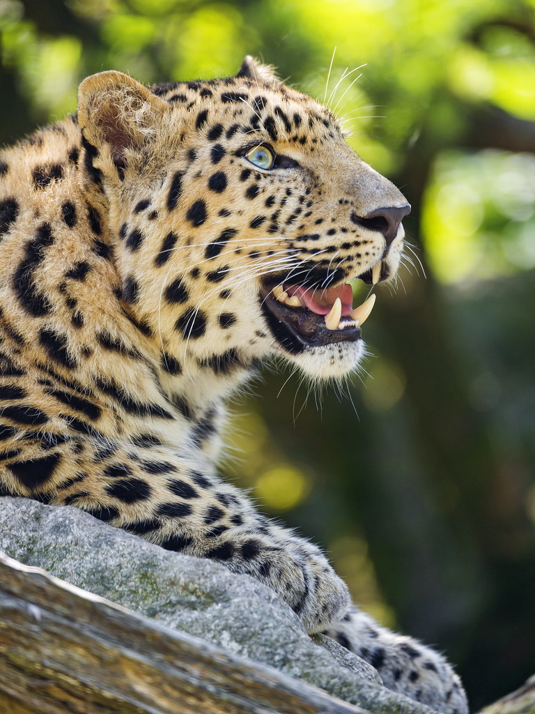 Nice leopard posing with open mouth