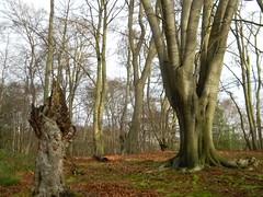 Big Tree with stump