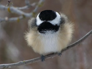 chilly day chickadee | by mikewiz