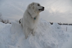 animal, dog, arctic, winter, snow, pet, maremma sheepdog, slovak cuvac, carnivoran, great pyrenees,