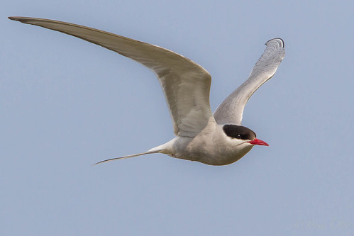 Arctic tern in flight.