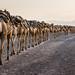 CAMELS by tarek touma