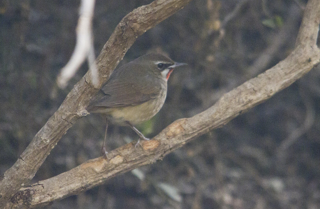 rubythroat_crop