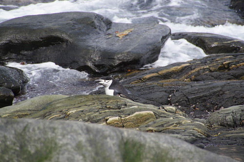 118 Elephant Island - Point Lookout Kinbandpinguins
