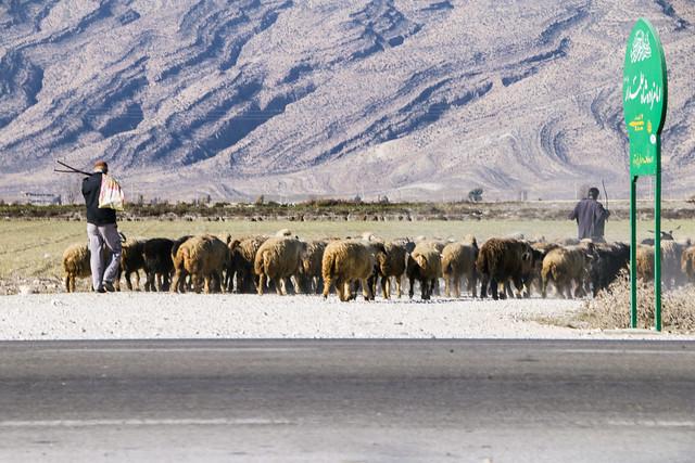 Sheeps walking on the road, Firuzabad, Iran フィールーズ・アーバード、羊の群れ