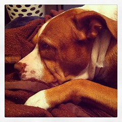 The best friend is finally taking a comfortable nap. #lol #pitbull #pitbullsofig