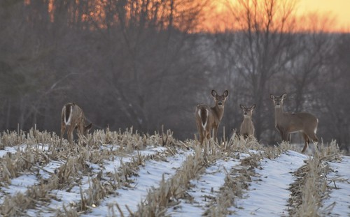 trees sunset snow evening cornfield indiana deer johnsoncounty uniontownship