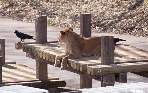 カラスを見つめるライオン