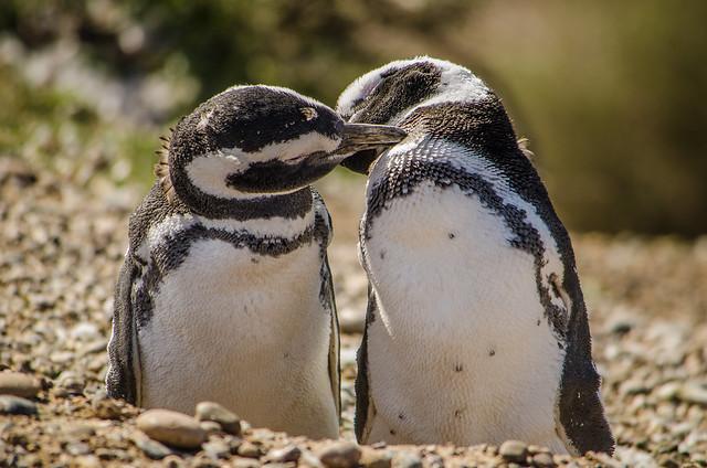 Preening Magellan Penguins