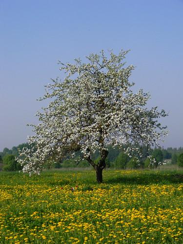 flower spring pavasaris zieds ābele kārsava