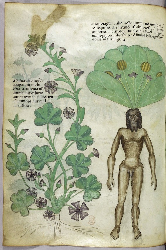 sloane herbal mandrake